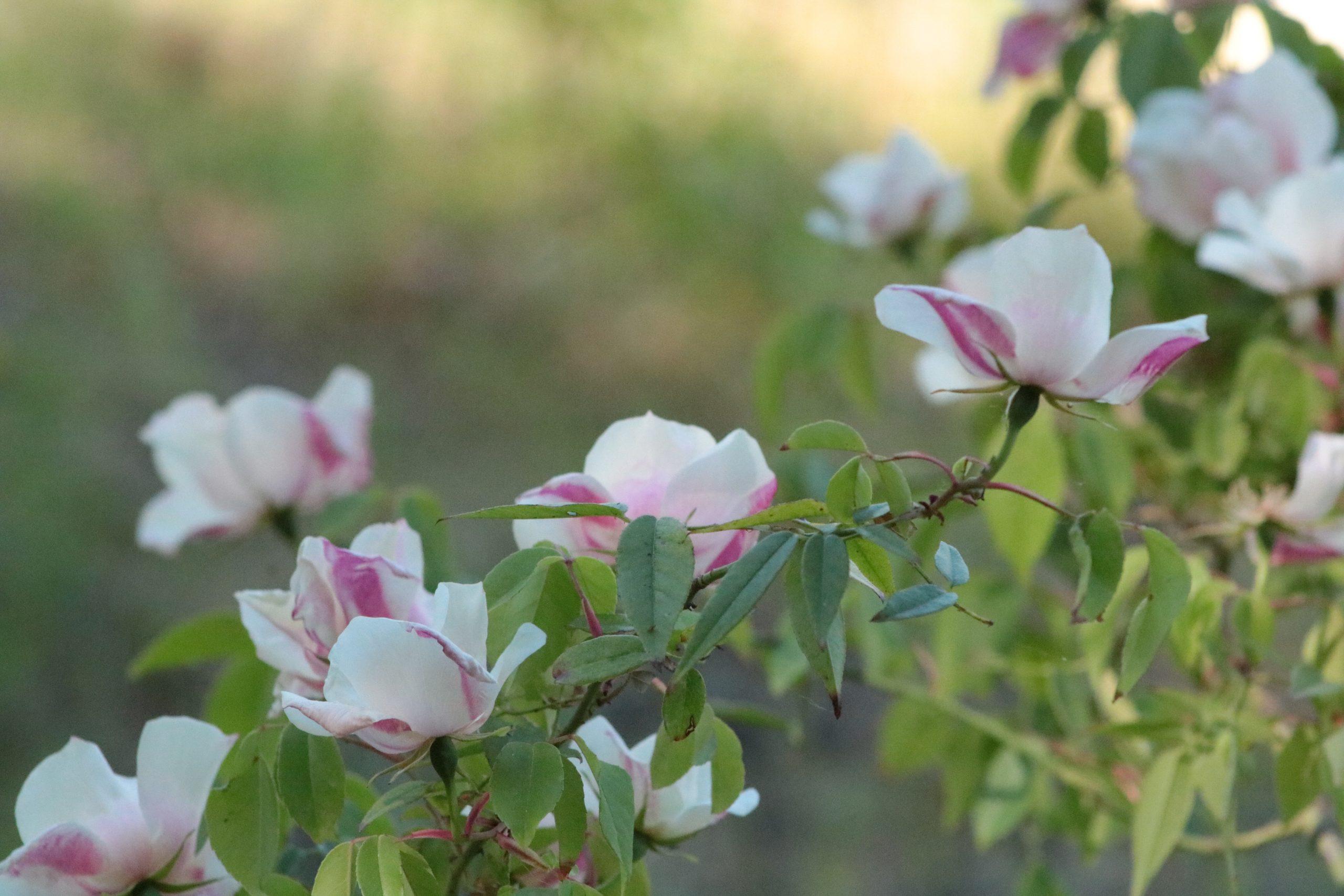 Rose Rampicanti Senza Spine rose – giardinicoli